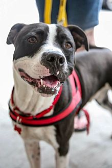American Pit Bull Terrier Mix Dog for adoption in Bedford Hills, New York - Dante