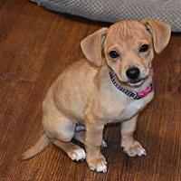 Adopt A Pet :: Sprocket - Prosser, WA