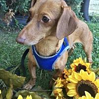 Adopt A Pet :: Oscar Mayer - Orangeburg, SC