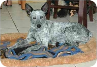 Australian Cattle Dog Dog for adoption in Tracy, California - ShyAnne