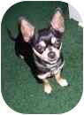 Chihuahua Dog for adoption in Haughton, Louisiana - Elvis (LOST / MISSING)