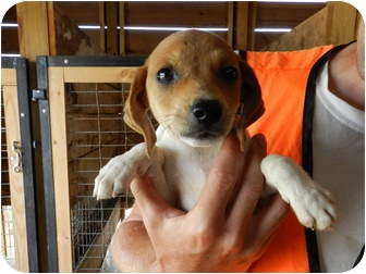 Beagle/Shepherd (Unknown Type) Mix Puppy for adoption in Lawrenceburg, Tennessee - Skittles