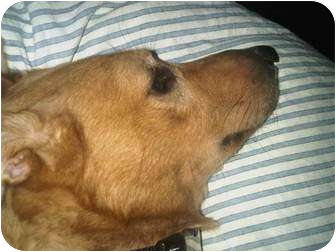 Golden Retriever/Collie Mix Dog for adoption in Long Beach, New York - Hank