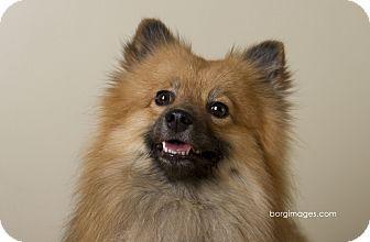 Pomeranian Dog for adoption in Minnetonka, Minnesota - Jaime