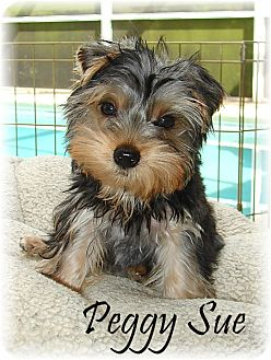 Yorkie, Yorkshire Terrier Puppy for adoption in Palm City, Florida - Peggy Sue