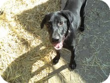 Labrador Retriever Mix Dog for adoption in Lewisville, Indiana - Onyx