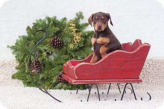 Doberman Pinscher Puppy for adoption in Auburn, California - Cookie