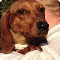 Adopt A Pet :: Daisy - Killingworth, CT