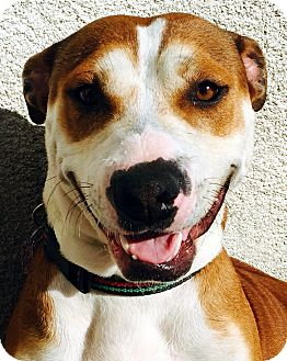 Pit Bull Terrier/Hound (Unknown Type) Mix Dog for adoption in Los Angeles, California - JEWEL (video)