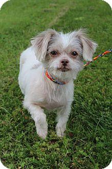 Shih Tzu/Yorkie, Yorkshire Terrier Mix Dog for adoption in Staunton, Virginia - Brooklyn