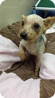 Yorkie, Yorkshire Terrier Dog for adoption in Newburgh, Indiana - Trooper