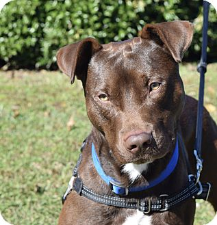 Labrador Retriever/Terrier (Unknown Type, Medium) Mix Dog for adoption in Wilmington, North Carolina - DeeOhGee