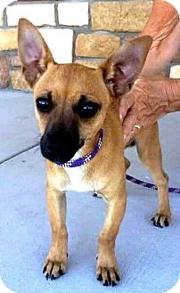 Chihuahua Mix Puppy for adoption in Tijeras, New Mexico - Lil' Sailor Boy