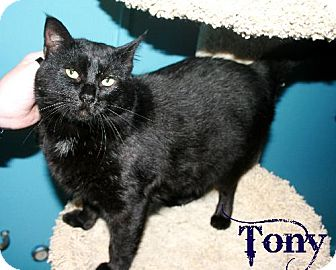 Domestic Shorthair Cat for adoption in Kankakee, Illinois - Tony