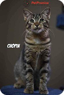 Domestic Shorthair Kitten for adoption in Columbus, Ohio - Chopin