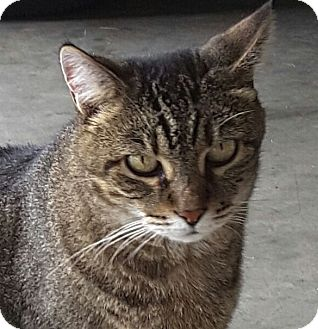 Domestic Shorthair Cat for adoption in Nashville, Tennessee - Clawdia **Declawed**