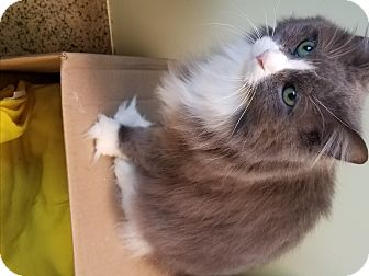 Norwegian Forest Cat Cat for adoption in Indianapolis, Indiana - Kumo