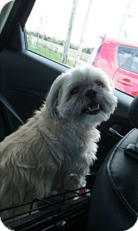 Shih Tzu Mix Dog for adoption in Russellville, Kentucky - GiGi