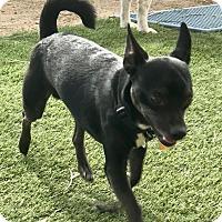 Adopt A Pet :: Miko - Las Vegas, NV