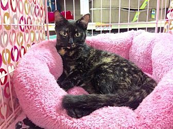 Domestic Shorthair Cat for adoption in Athens, Georgia - Clarice
