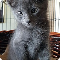 Adopt A Pet :: Niko - Sherman Oaks, CA