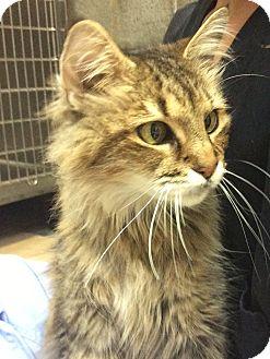 Domestic Mediumhair Cat for adoption in Alpharetta, Georgia - Chelsea