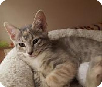 Domestic Shorthair Kitten for adoption in Raritan, New Jersey - Jelly