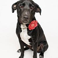 Adopt A Pet :: Willow - In Training - Jefferson, LA