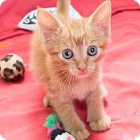 Adopt A Pet :: Ravioli - Chicago, IL
