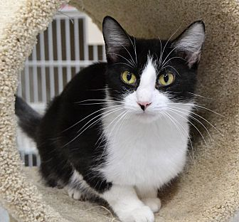 Domestic Shorthair Cat for adoption in Michigan City, Indiana - Nectar