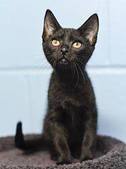 Domestic Shorthair Kitten for adoption in Huntsville, Alabama - BooBoo