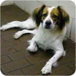 Brittany Mix Dog for adoption in Deer Park, Texas - Jade