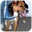 Photo 2 - Corgi/Australian Cattle Dog Mix Dog for adoption in Rolling Hills Estates, California - Colorado