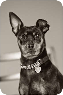 Miniature Pinscher Dog for adoption in Portland, Oregon - Ava