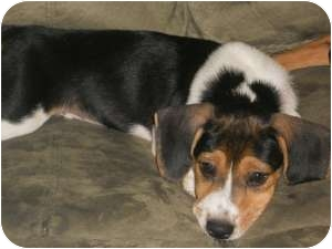 Beagle Mix Puppy for adoption in Marlton, New Jersey - Skipper