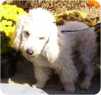Poodle (Miniature) Mix Dog for adoption in P, Maine - Chuck