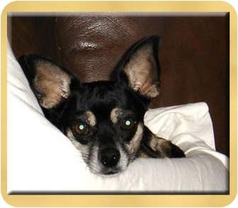 Chihuahua Mix Dog for adoption in Scottsdale, Arizona - Sissy