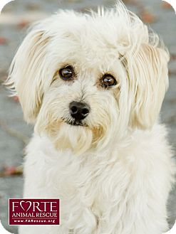 Bichon Frise/Maltese Mix Dog for adoption in Marina del Rey, California - Milo