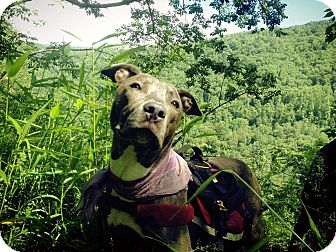 American Pit Bull Terrier Puppy for adoption in East McKeesport, Pennsylvania - Shandy