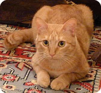 Domestic Shorthair Cat for adoption in Bedford, Massachusetts - Marmalade