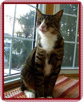 Domestic Shorthair Cat for adoption in Mt. Prospect, Illinois - Rambler
