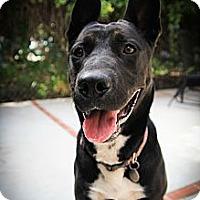 Adopt A Pet :: Shadey - Santa Barbara, CA