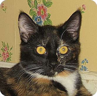 Calico Cat for adoption in Hamilton, New Jersey - NOEL - 2015
