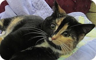 Domestic Shorthair Kitten for adoption in Lloydminster, Alberta - Izzy