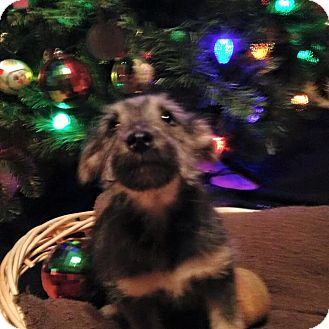 Schnauzer (Miniature)/Pomeranian Mix Puppy for adoption in Lexington, Kentucky - Logray