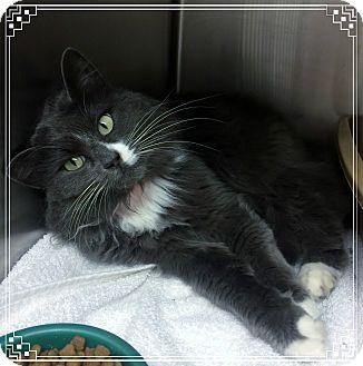 Domestic Mediumhair Cat for adoption in Marietta, Georgia - ANSLEY