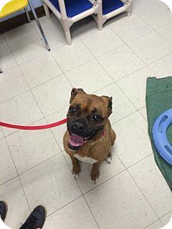 Boxer Mix Dog for adoption in Lowell, Massachusetts - Jordan