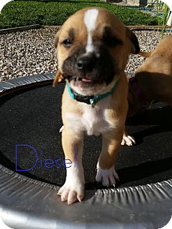 Rottweiler/Boxer Mix Puppy for adoption in ST LOUIS, Missouri - Diesel