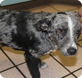 Australian Cattle Dog/Blue Heeler Mix Puppy for adoption in Las Vegas, Nevada - Lola