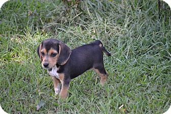 Beagle/Beagle Mix Puppy for adoption in Pikeville, Maryland - Idaho